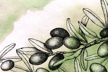 Realistic illustration of black and green olives branch isolated on watercolor background. Hand drawn graphic. Design for olive oil, natural cosmetics, health care products, banner, business card.