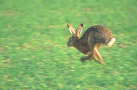 Running hare on a field - Palatinate Germany Stock Photo