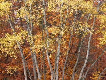 ablooming: Alberi con foglie colorate in autunno  Archivio Fotografico