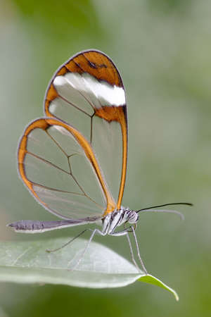 Closeup of an butterfly with transparent wings. You can see every detail of the butterfly. Stock Photo