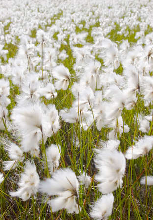 Moving cotton grass on a sunny and windy day in the norwegian mountains