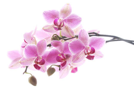 orchid: Closeup of a purple orchid - high key image