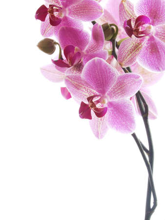 Closeup of a pink orchid - isolated on white - high key image