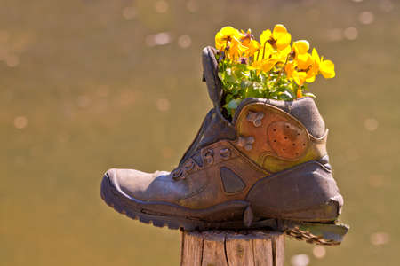 Old hiking boot with yellow blooming flowers - pansy or viola