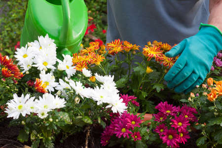 Gardener watering flowers with a wateriung can na greenhous or garden - chrysanthemum Archivio Fotografico