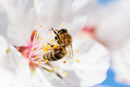 Bee in white blossom of almond tree in spring with blue sky in the background