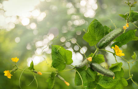 Cucumber is widely cultivated plant in gourd family Cucurbitaceae. Vine with fruits varying degrees of maturity, fading yellow flowers, lush foliage, curled tendrils. Closeup view with space for text
