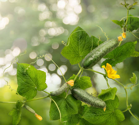 Cucumber is widely cultivated plant in gourd family Cucurbitaceae.