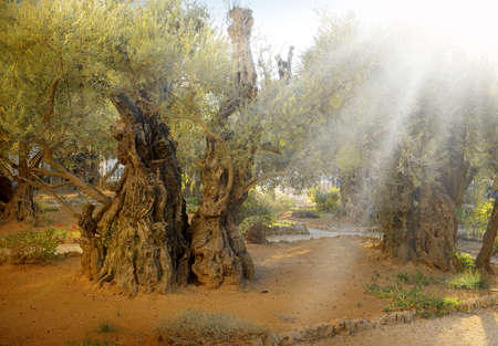 Yerushalayim, Middle East. Aged sacred pilgrim place of Judea. Large gnarled shrine sunlit green plant. Famous jew Olivet gethsemani land. Evening sunny scene with space for text on brown ground