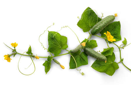 Cucumber – widely cultivated plant in gourd family Cucurbitaceae. Vine with fruits varying degrees of maturity, fading yellow flowers, lush foliage, curled tendrils. Closeup isolated on white backdrop