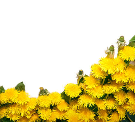Simple beautiful lush cute corsage of vivid ocher fluffy blowballs with green leaves isolated on white backdrop. View close-up with space for text