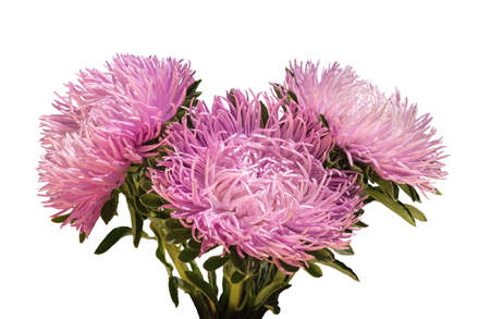 Curvy needle gently pink asters isolated on white background with clipping mask. Close-up view with space for text
