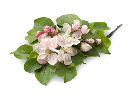 Young sprig of apple seedling abloom beautiful pale rose flowers with light yellow pistils and bright green leaves isolated on light backdrop with clipping path. View close-up with space for text Stock Photo