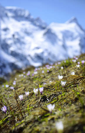 Alpen trip mountainside vista of rock summit plateau scene. Sunlight scenery view with space for text on high bright blue crag mount backdrop. Light purple color first Croci on glade slope
