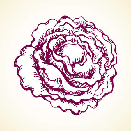 Ripe raw fresh violet Brassica oleracea collard on white backdrop. Dieting dinner. Freehand black ink hand drawn picture logo sketchy in retro art scribble etching style pen on paper. Closeup view