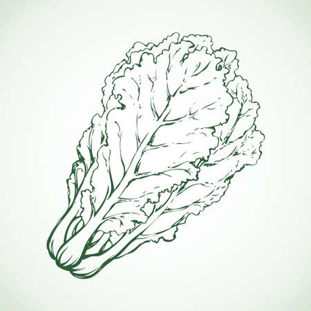 Lush ripe raw pekinensis Pak Choi Pe-tsai rapa pok isolated on white backdrop. Freehand outline ink hand drawn symbol sign sketchy in art scribble style pen on paper. Closeup view with space for text