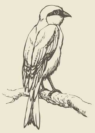 """Vector drawing of a series of monochrome sketches """"Birds"""". Lanius, the typical shrikes, are a genus of passerine birds in the shrike family"""