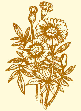Vector monochrome drawing of a shading ink on paper. Bright yellow flowering Tagetes, known as marigolds.