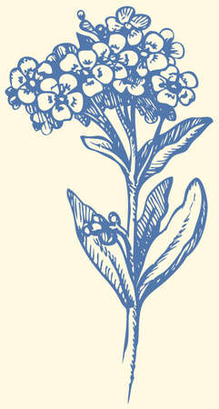 Vector monochrome drawing of a shading ink on paper. Sprig of Forget-me-not (Myosotis arvensis). Flowering plants in the family Boraginaceae that are commonly called Forget-me-nots Çizim