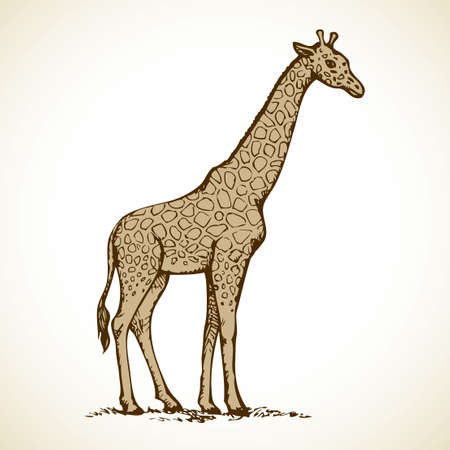 Giraffa camelopardalis is even-toed ungulate mammal, tallest and largest ruminant isolated on white background. Freehand outline ink hand drawn picture sketch in art doodle style pen on paper. Side view with space for text Ilustração