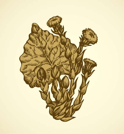Early spring primroses Tussilago Farfara isolated on white background. Freehand outline ink hand drawn picture sketchy in scribble retro style pen on paper. Closeup view with space for text
