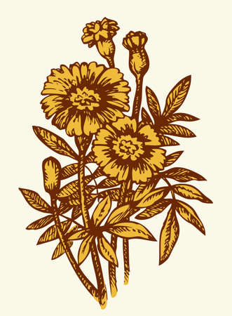Bright ocher African Tagetes isolated on white background. Monochrome freehand outline ink hand drawn picture sketchy in art engraving retro style pen on paper. Closeup view with space for text