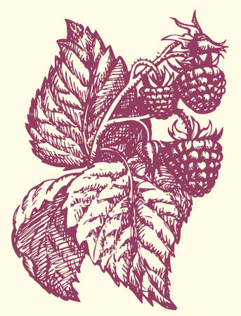 Vector monochrome drawing style handmade ink on paper. Raspberry twig with berries, buds and leaves