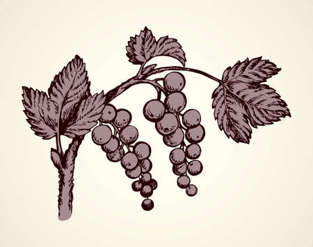 Fresh ripe Grossulariaceae isolated on light backdrop. Freehand linear dark ink hand drawn picture logo sketchy in retro art doodle cartoon style pen on paper. Closeup view with space for text