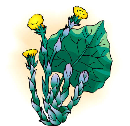 Vector drawing. Spring primroses Tussilago farfara, used in medicine and a good honey plant