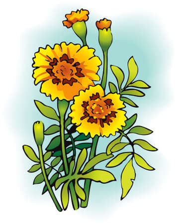 Vector drawing. Bright yellow flowering Tagetes, known as marigolds. Ilustrace