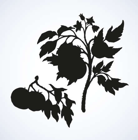 Big solanum tomato on twig isolated on white backdrop. Dark ink hand drawn picture in vintage engraving style. Closeup view