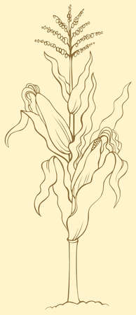 Vector drawing. Corn plant stalk, wavy leaves, ripe ears and seeds on top