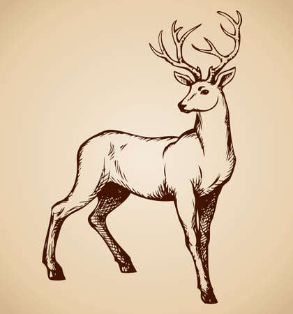 Deer are ruminant mammal in family Cervidae. Vector monochrome freehand ink drawn background sketchy in art scribble antiquity style pen on paper with space for text