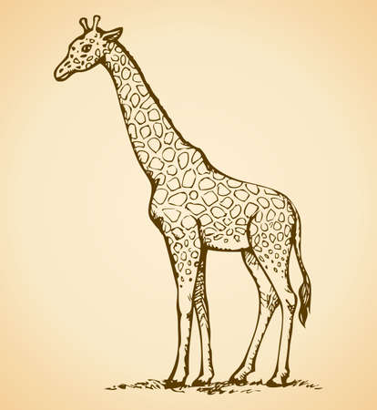 Giraffa camelopardalis is an African even-toed ungulate mammal, tallest and largest ruminant with spotted pattern on wool. Vector monochrome freehand ink drawn background sketchy in art scribble antiquity style pen on paper with space for text 免版税图像 - 157856150