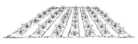 Eco green early lush ripe soy bush flora culture sow on tillage furrow mulch patch isolated on white background. Line ink hand drawn vegan scene sketch in retro doodle cartoon style and space for text 일러스트