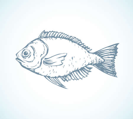 Big fresh gray silver Cyprinus carpio isolated on white backdrop. Freehand outline ink hand drawn picture sketchy in art retro scribble style pen on paper. Closeup side view with space for text