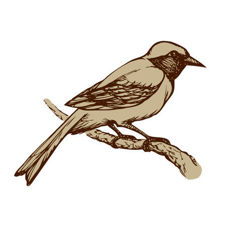 Redstart isolated on white background. Freehand outline ink hand drawn image sketchy in art scribble retro style pen on paper. Closeup side view with space for text