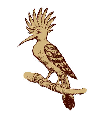 Hoopoe isolated on white background. Freehand outline ink hand drawn image sketchy in art scribble retro style pen on paper. Closeup side view with space for text