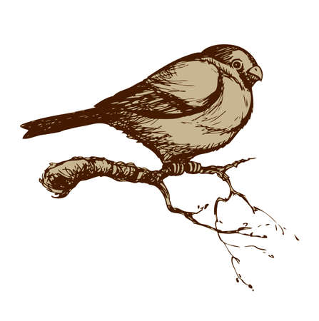 Bullfinch isolated on white background. Freehand outline ink hand drawn image sketchy in art scribble retro style pen on paper. Closeup side view with space for text