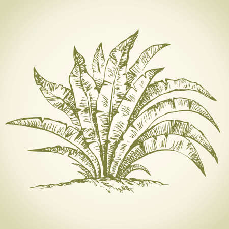 Beautiful summer juicy green lush banana tree in rain forest. Vector freehand linear ink drawn backdrop sketchy in art scribble antique style pen on paper view close-up with space for text