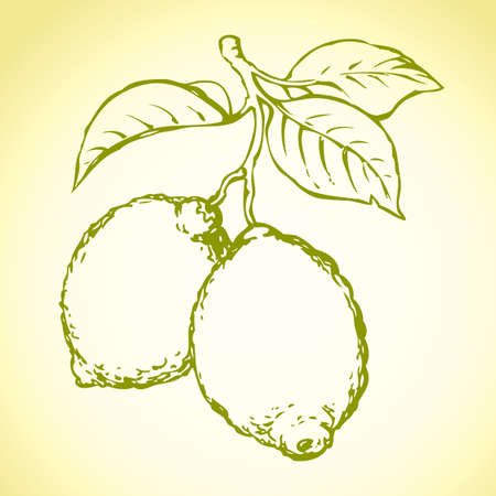 Tasty ripe raw fresh sappy lime fruitful on tree sprig isolated on white backdrop. Freehand outline ink hand drawn picture sketchy in art doodle style pen on paper. View closeup with space for text