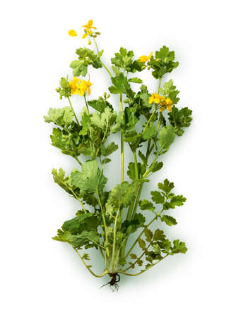 Officinal pharmacy vivid golden greater bloomer majus isolated on white background: green shoots, lemon inflorescenc flowerheads and dark brown root. View close-up with space for text