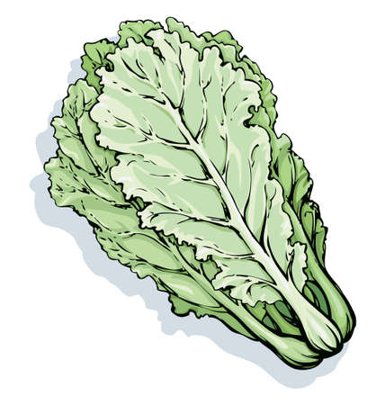 Lush ripe raw pekinensis Pak Choi Pe-tsai rapa pok isolated on white backdrop. Freehand outline color hand drawn symbol sign sketchy in art scribble style. Closeup view with space for text