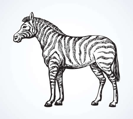 Young cute big funny stripy equid standing in grassland savannah plain. Freehand outline ink hand drawn picture sketchy in art scribble style black pen on white paper. Side view with space for text