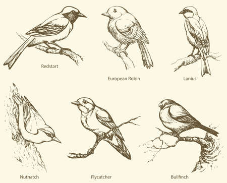 Set of birds: Bullfinch, Redstart, Nuthatch, Flycatcher, Lanius, European Robin. Vector monochrome freehand ink drawn background sketchy in art scribble antiquity style pen on paper with space for text