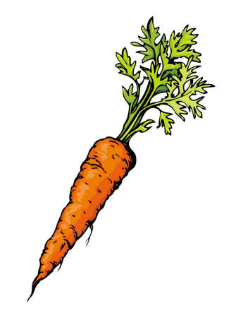 Ripe fresh sappy red Daucus carota haulm taproot isolated on white backdrop. Freehand bright color hand drawn symbol sign sketchy in retro art scribble style pen on paper. Closeup view with space for text Ilustracja