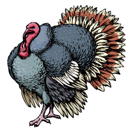 Large old fat turkeycock tom pet stand on run-yard isolated on white backdrop. Freehand outline ink hand drawn picture sketchy in art scribble retro style pen on paper. Closeup view and space for text