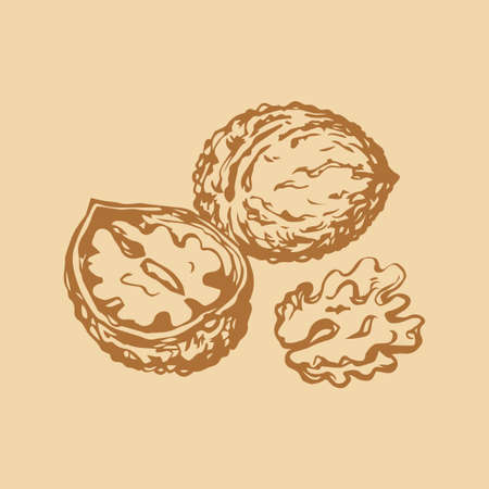 Small ripe raw fresh tasty Juglans pod isolated on white backdrop. Freehand outline ink hand drawn picture sign sketchy in art vintage scribble style pen on paper. Closeup view with space for text