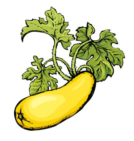 Ripe raw big zukini cucurbitaceae fruitful with green leaf isolated on white backdrop. Freehand color hand drawn picture sketch in art scribble style. Closeup view with space for text