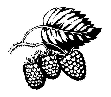 Bright hand drawn raw red razz twig floral farm emblem pictogram design retro art doodle outline print style. Close up view bio eco health dessert season farming flora light paper text space backdrop Illustration